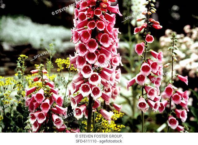 Blooming Garden of Foxgloves