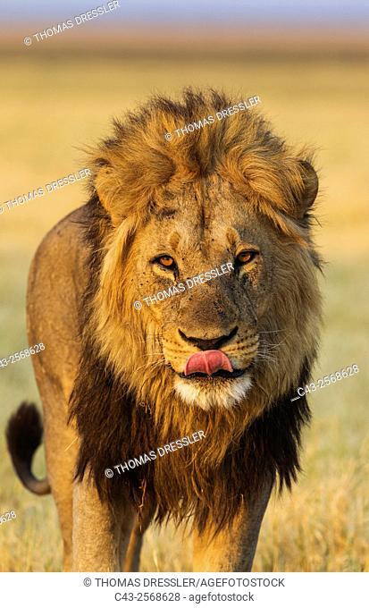 Lion (Panthera leo) - Male, about to yawn. Savuti, Chobe National Park, Botswana