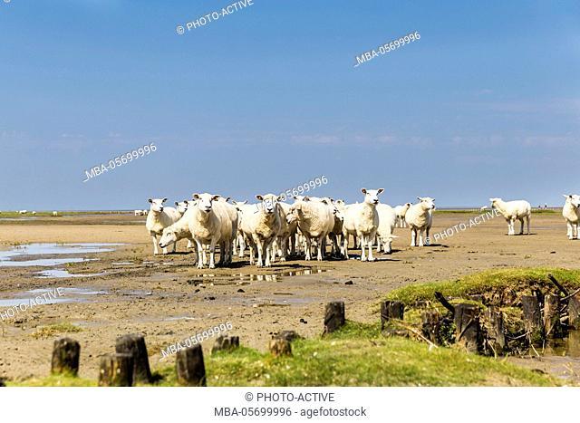 Flock of sheep at coast of the Northern Sea