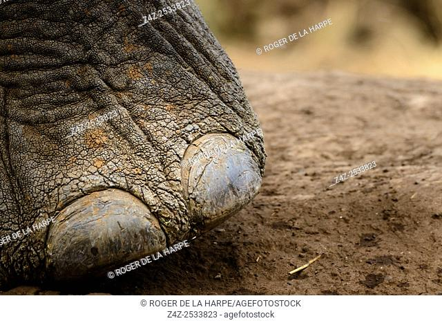 African bush elephant (Loxodonta africana) details foot showing toe nails. Mashatu Game Reserve. Northern Tuli Game Reserve. Botswana