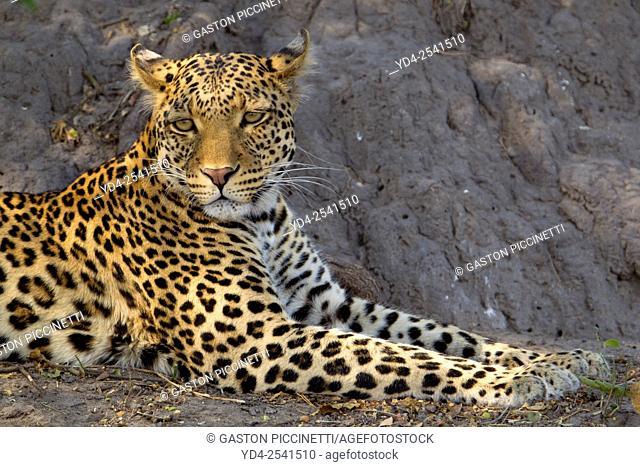 Leopard (Panthera pardus) - Male, Chobe National Park, Botswana