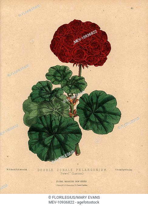 Crimson geranium with large flowers, double-zonale pelargonium Jewel (Laxton). Handcolored botanical drawn and lithographed by W.G. Smith from H.H