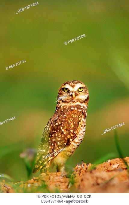 Burrowing owl, Speotyto cunicularia, Strigidae, Rio Branco, Acre, Brazil, 2009