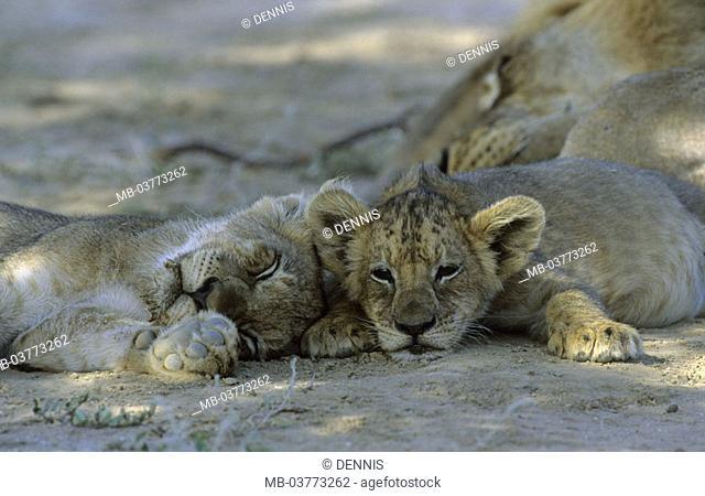 South Africa, Kgalagadi Transfrontier park,  Lions, Panthera Leo, young,  resting Africa, Kalahari, national park, national park reservation wild protectorate...