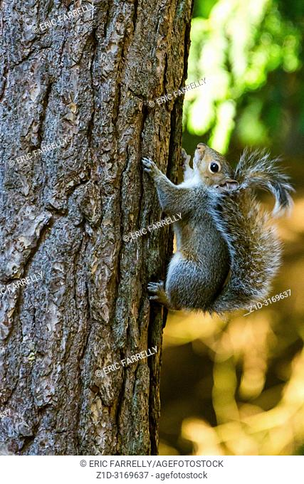 grey squirrel England UK