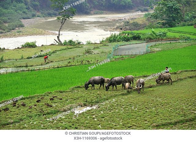 paddy-fields on the river bank,around Bao Lac,Cao Bang province,northern Vietnam,southeast asia