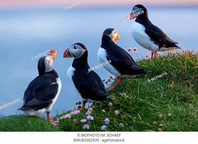 Atlantic puffin, Common puffin (Fratercula arctica), Common puffins on sea pinks at the cliff edge , Iceland, Vestfirdir, Hvallaetur