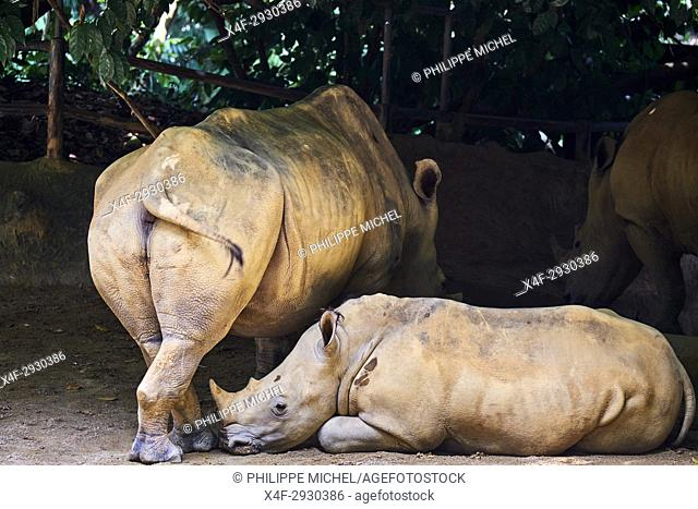 Singapore, Singapore Zoological Gardens, Mandai Zoo, rhinoceros