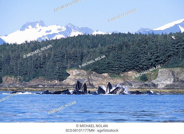 Humpback Whales Megaptera novaeangliae cooperatively 'bubble-net' feeding in Lynn Canal, Southeast Alaska, USA