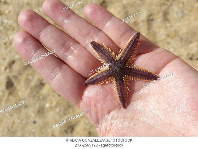 Sea star on hand, falcon state Venezuela
