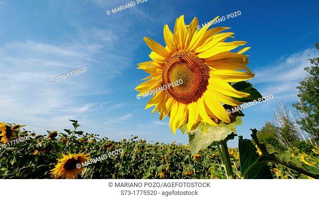 Field of sunflowers in Kirillovka, Samara Region, Russian Federation