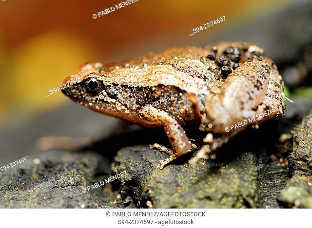 Small toad (Microhyla berdmorei) in Taman Alam Kuala Selangor, Malaysia