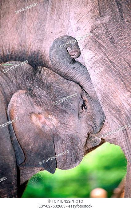 Relationship Thai Elephant calf and mom