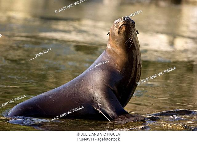 California sea lion Zalophus californianus basking un sunlight