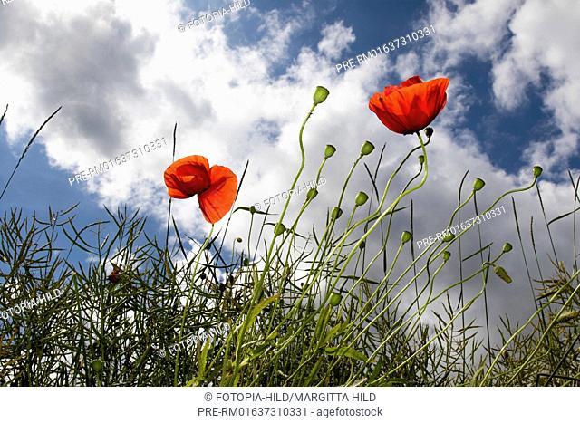 Common Poppy, Papaver rhoeas, Scheden, Dransfeld, Göttingen district, Lower Saxony, Germany, Europe / Klatschmohn, Papaver rhoeas, Scheden, Dransfeld