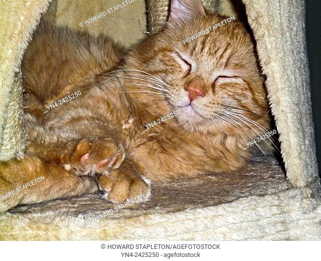 Red cat. Domestic long-haired cat. Marmalade tabby