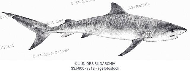 DEU, 2008: Tiger Shark (Galeocerdo cuvier), drawing