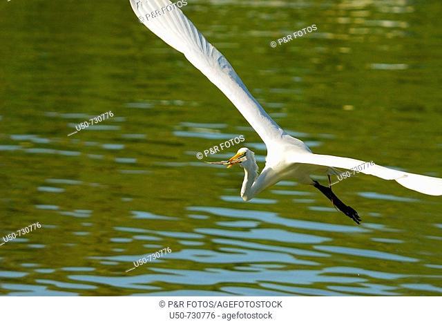 Great egret (Ardea alba, Ardeidae), Benevente River, Anchieta, Brazil