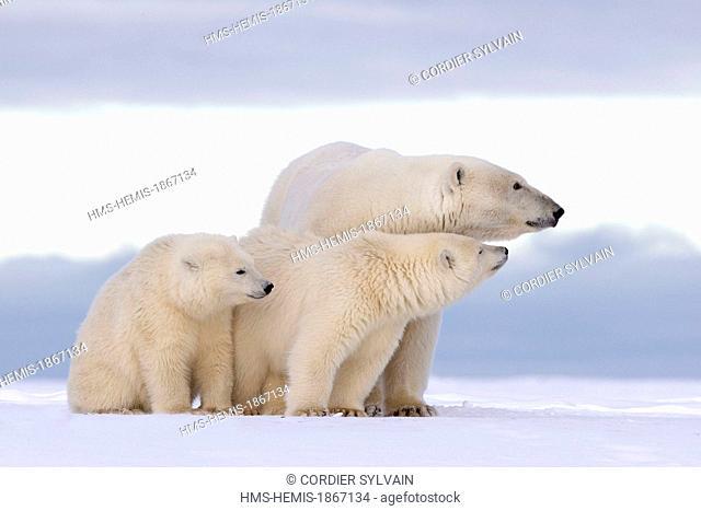 United States, Alaska, Arctic National Wildlife Refuge, Kaktovik, polar bear (Ursus maritimus), female and two young of the year