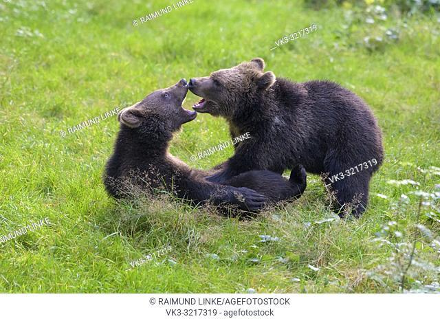 European Brown Bears, Ursus arctos, two cubs fighting, Germany