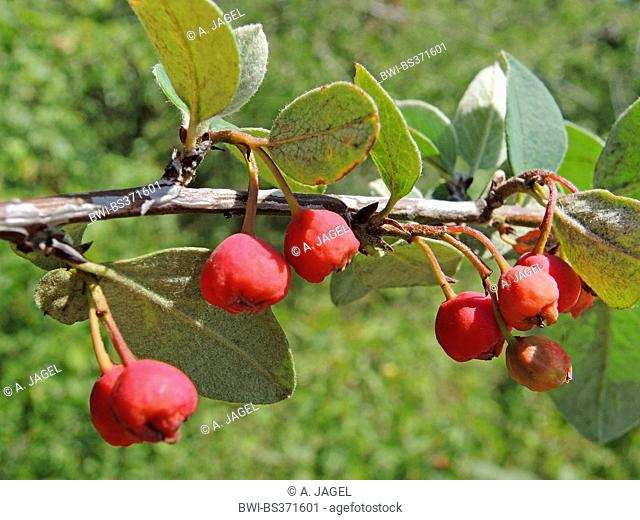 wild cotoneaster (Cotoneaster integerrimus), branch with fruits, Germany, Baden-Wuerttemberg