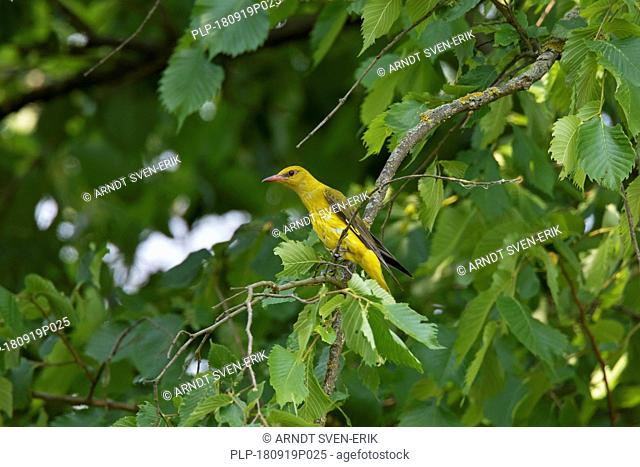 Eurasian golden oriole (Oriolus oriolus) female perched in tree in summer