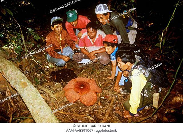 Rafflesia (Rafflesia Micropylora) Gunung Leuser, Aceh, Sumatra