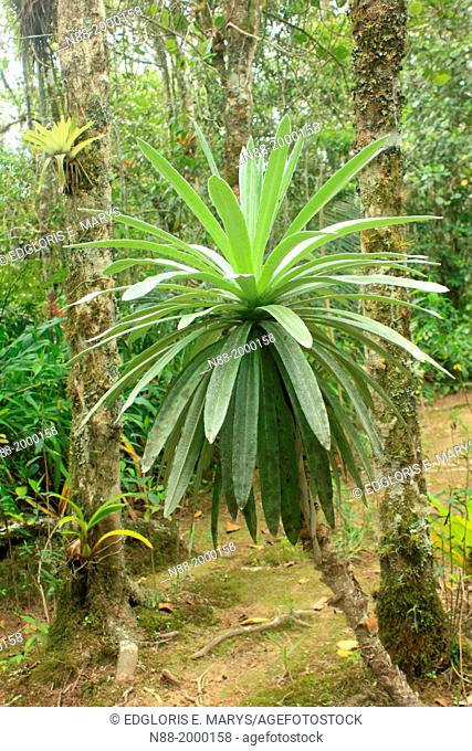 Espeletia San Eusebio Cloud Forest Merida Venezuela