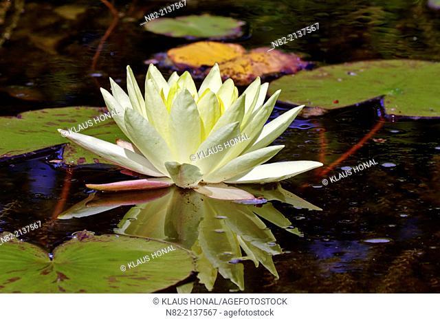 Ornamental Waterlily Nymphaea sp 'Joey Tomocik' cultivar blooming in a garden pond - Region Hesselberg, Bavaria/Germany