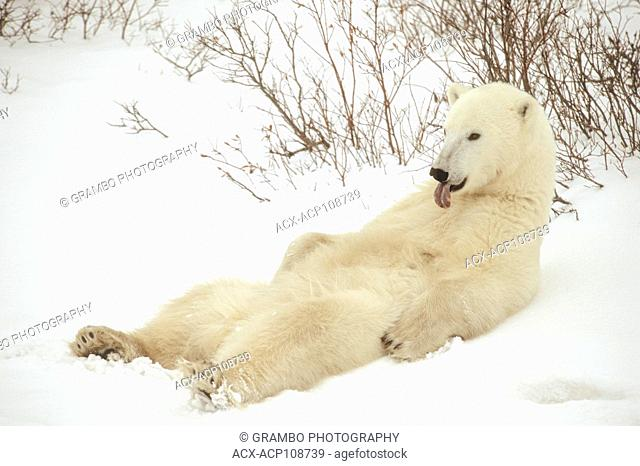 Polar Bear, Ursus maritimus, relaxes in the snow showing black pigment on tongue. Near Churchill, Manitoba, Canada