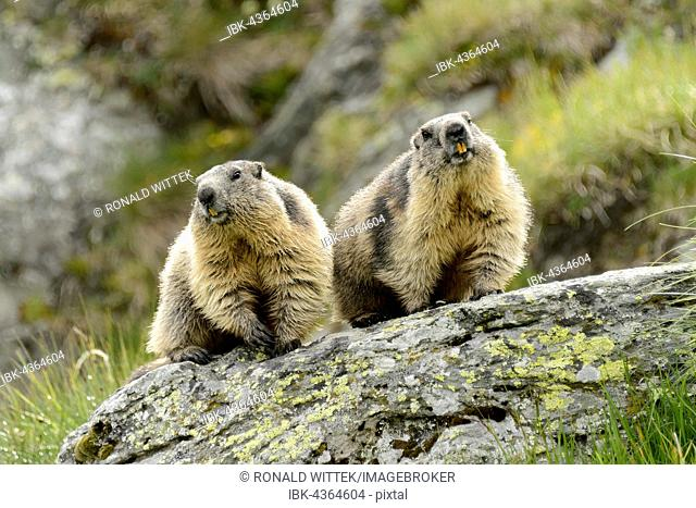 Two alpine marmots (Marmota Marmota) on rock, High Tauern National Park, Austria