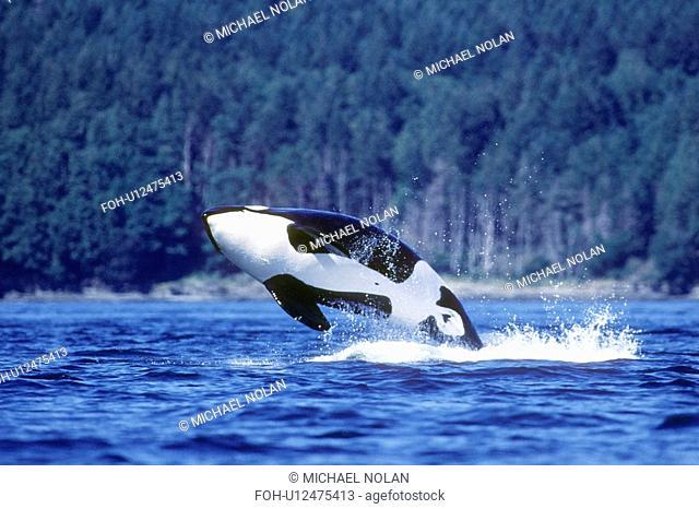 Orca Orcinus orca breaching. San Juan Islands, Washington. rr