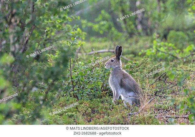 Mountain hare sitting on the ground at birch tree, Gällivare, Swedish Lapland, Sweden