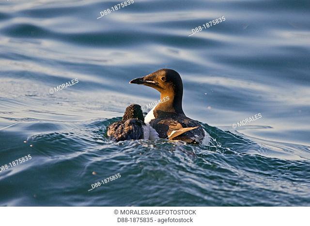 Norway , Spitzbergern , Svalbard , Thick-billed Murre or Brünnich's Guillemot Uria lomvia , adult female and young