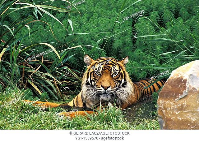 Sumatran Tiger, panthera tigris sumatrae, Adult standing in Water