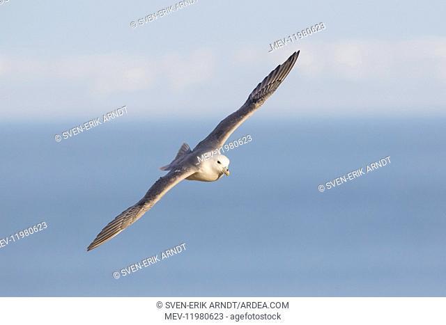 Northern Fulmar adult bird in flight Iceland