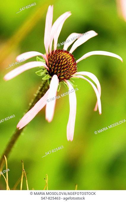 Pink Coneflower. Echinacea purpurea