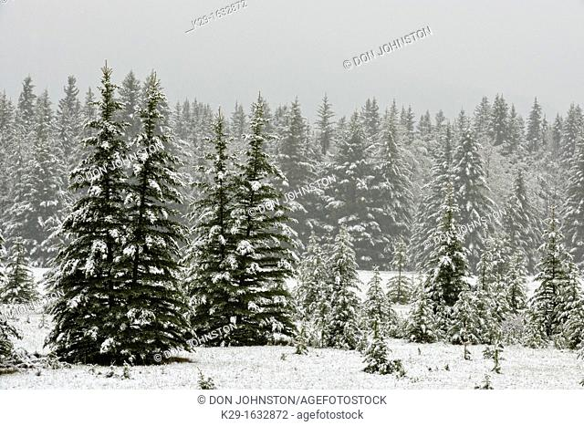 Spring snowfall in Cascade meadows with aspen and pine, Banff NP, Alberta, Canada