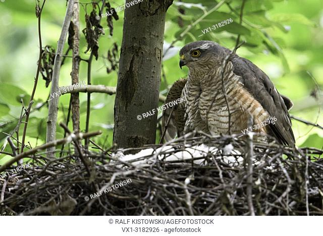 Sparrowhawk ( Accipiter nisus ), adult female sitting, perched on the edge of its nest, caring for its chicks, watching attentively, wildlife, Europe