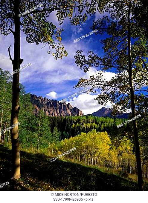 Aspen trees in a forest with a mountain in the background, Uncompahgre National forest, Colorado, USA