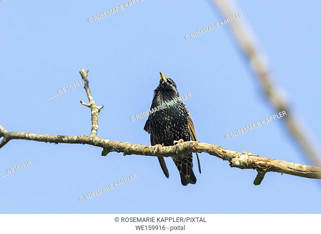 A common starling is searching for fodder