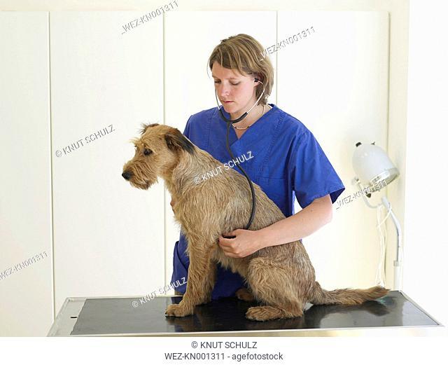 Veterinary surgeon examining dog with stethoscope
