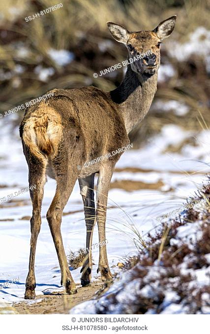 Red Deer (Cervus elaphus). Hind standing, seen from behind. Denmark