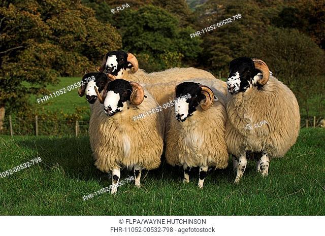 Domestic Sheep, Rough Fell, five ram lambs, ready for autumn sales, Sedbergh, Cumbria, England