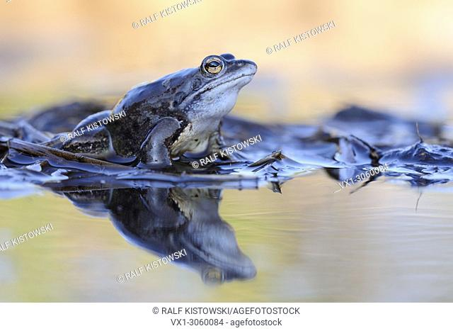 Moor Frog ( Rana arvalis ), blue colored male sitting on reed stems in a pond during its mating season in spring, wildlife, Europe.
