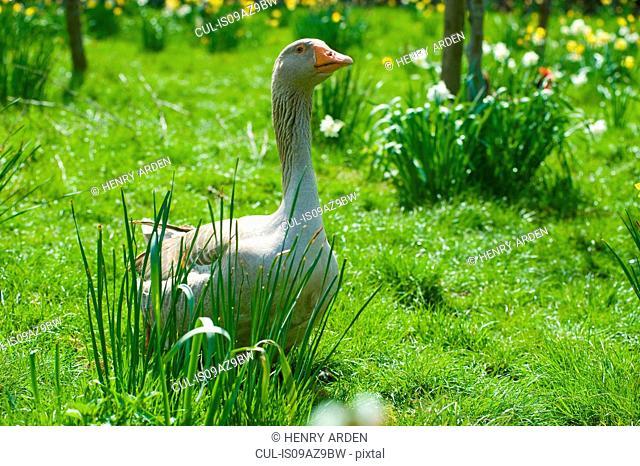 Portrait of goose in daffodil meadow