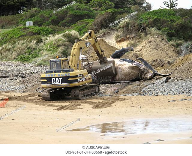 Burial of beached Humpback whale