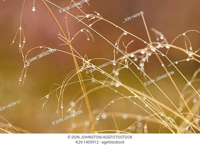 Hairgrass stalks with raindrops