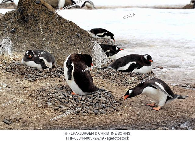 Gentoo Penguin (Pygoscelis papua) adults, adding stone to nest in nesting colony, Half Moon Island, South Shetland Islands, Antarctica, December