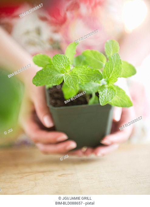 Korean woman holding mint in pot